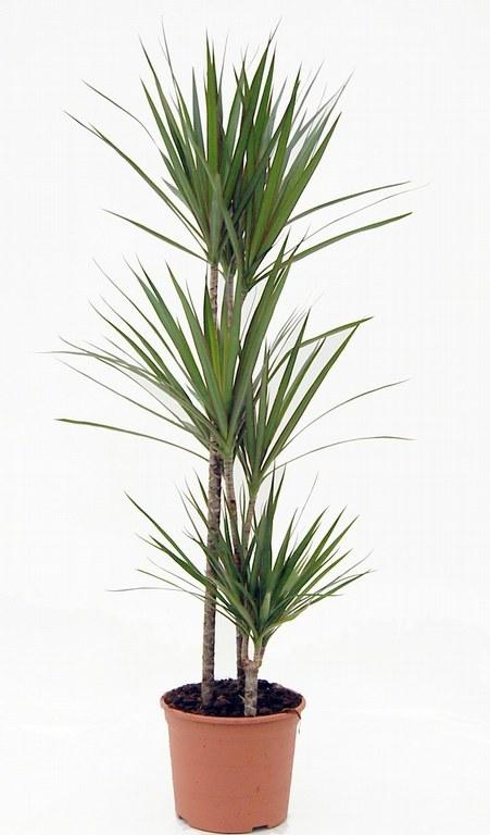 Dracaena marginata cu trei tulpini - Plantas de interior online ...