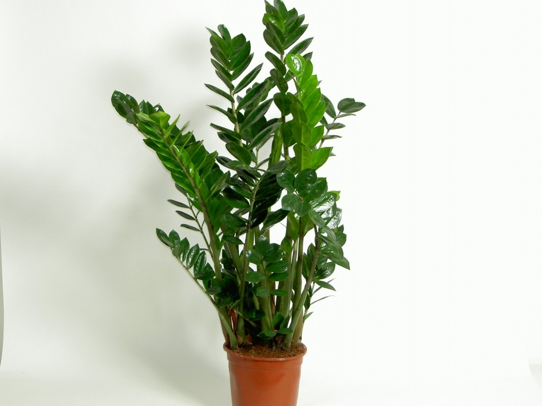 Zamioculcas for Plante de interior