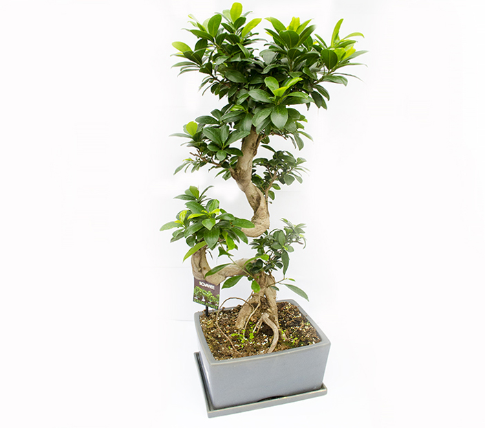 bonsai ficus microcarpa ginseng h 80 cm. Black Bedroom Furniture Sets. Home Design Ideas