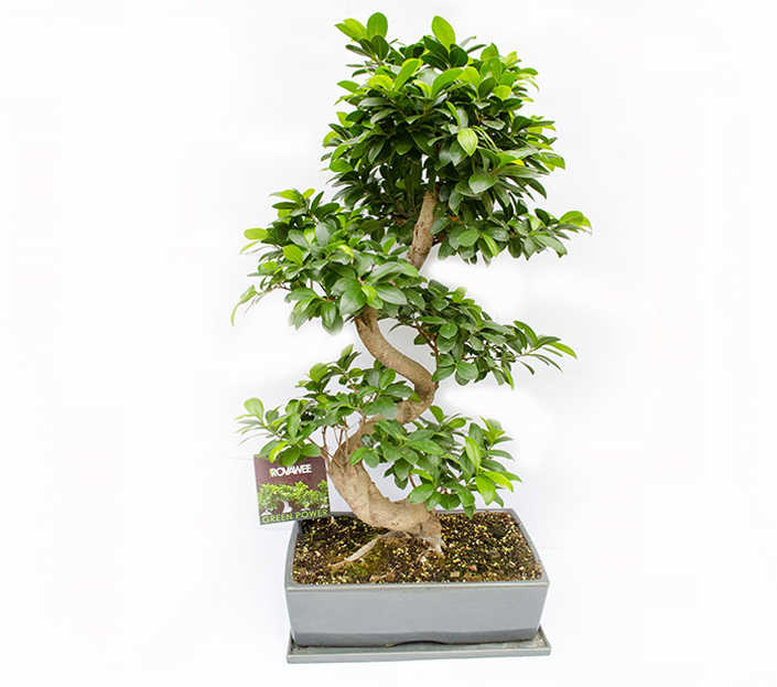 bonsai ficus microcarpa ginseng h 100 cm. Black Bedroom Furniture Sets. Home Design Ideas