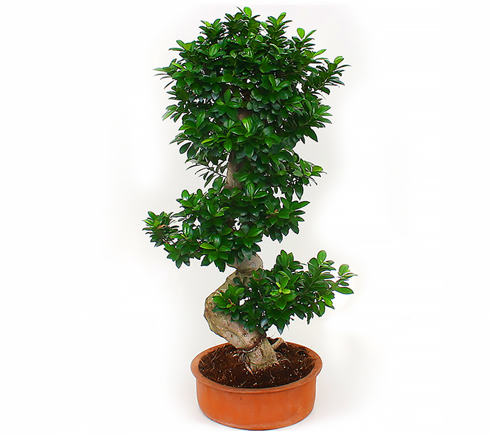 bonsai ficus microcarpa ginseng h 150 cm. Black Bedroom Furniture Sets. Home Design Ideas
