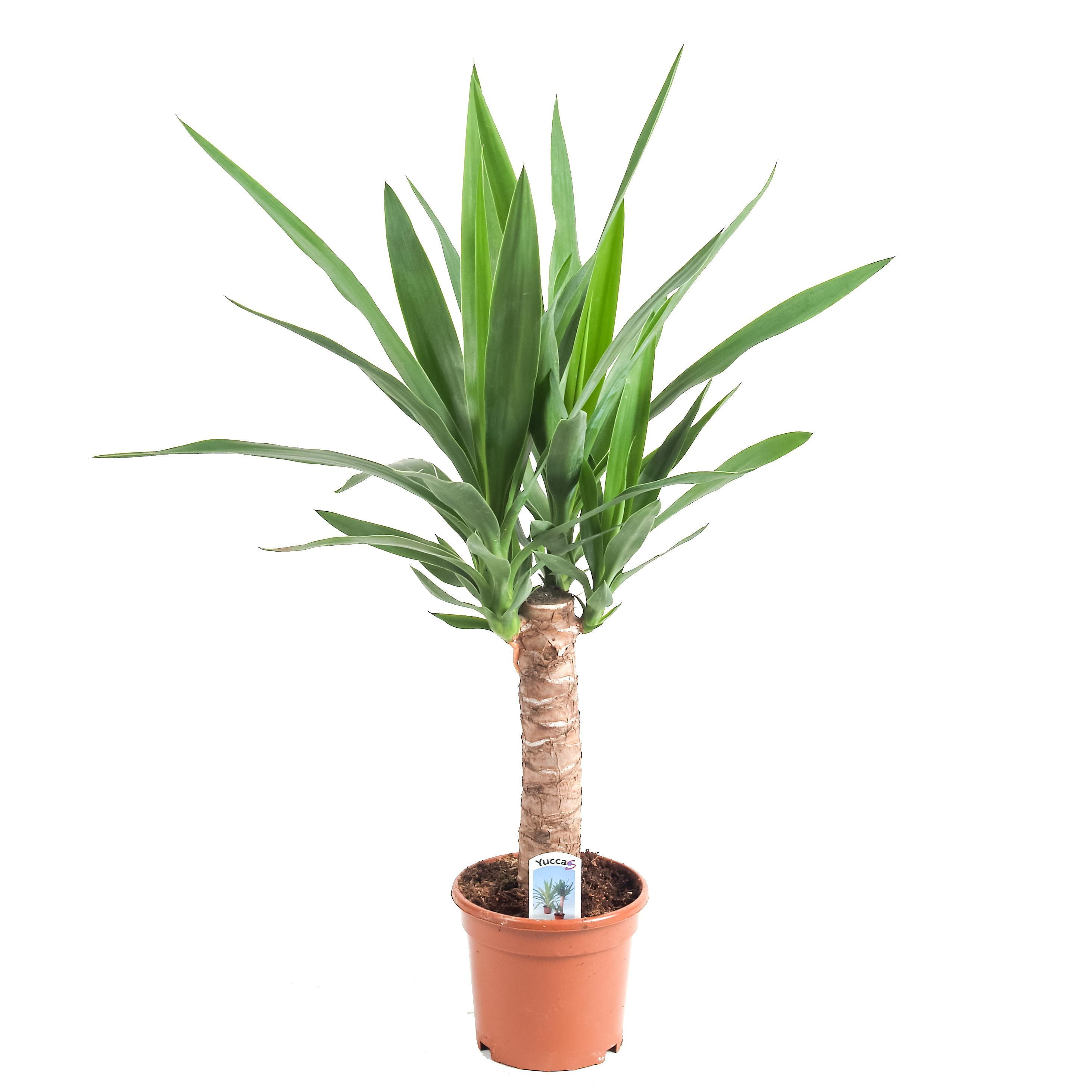 Yucca cu o tulpin cump r acum for Yuca de interior
