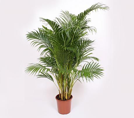 palmier areca chrysalidocarpus lutescens plante benefice. Black Bedroom Furniture Sets. Home Design Ideas