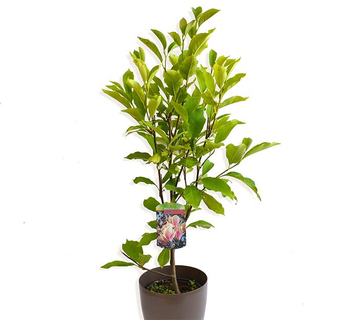 Magnolia soulangeana arbu ti cu flori for Arbusti ornamentali