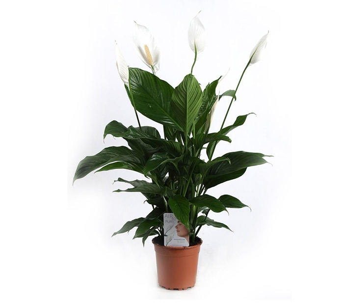 Spathiphyllum spatifilum for Plante feng shui