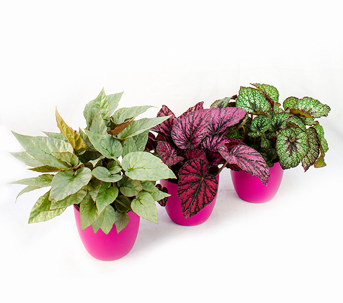 Begonia rex for Plante decorative