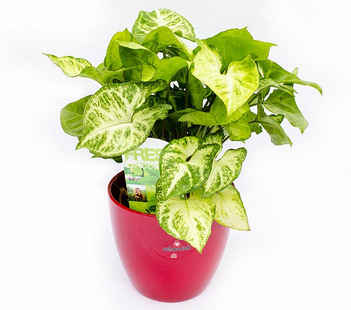 Syngonium Plante decorative