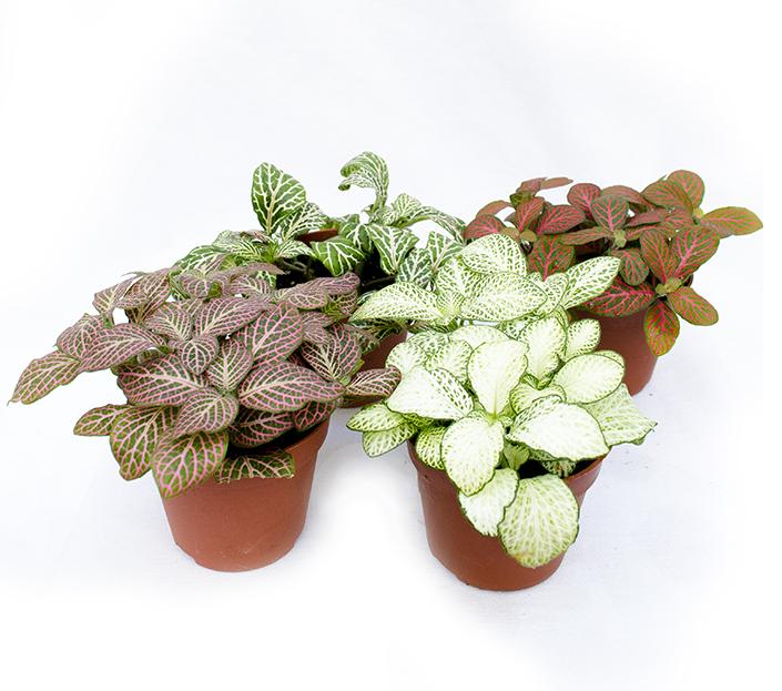 Fittonia planta mozaic plante ornamenale de apartament Plante decorative