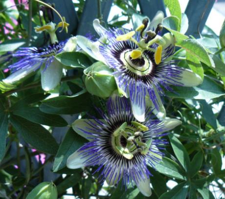 floarea pasiunii de vanzare