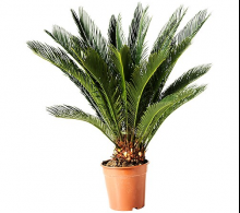 Palmier Cycas