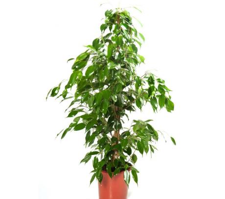 Ficus benjamina H 130 cm