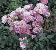 Trandafir-pomișor