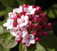 Viburnum puternic parfumat