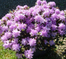 Rhododendron pitic