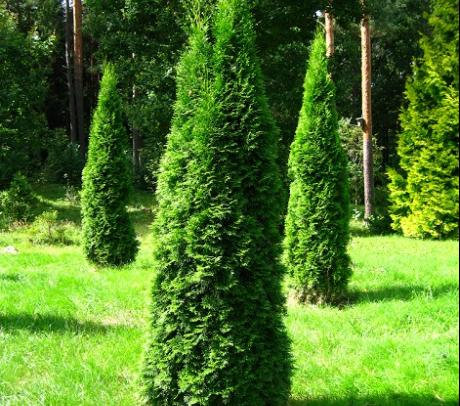 Conifer Thuja 170+ cm