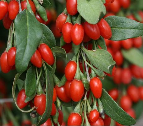 Goji - Arbusti fructiferi