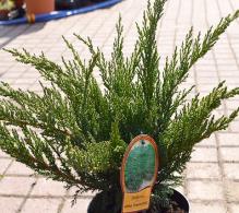 Ienupăr Tamariscifolia