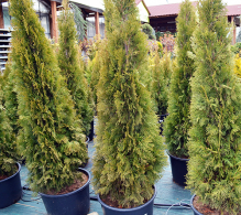 Conifer Thuja 150 cm