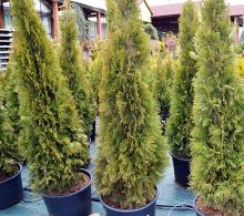 Conifer Thuja 160 cm