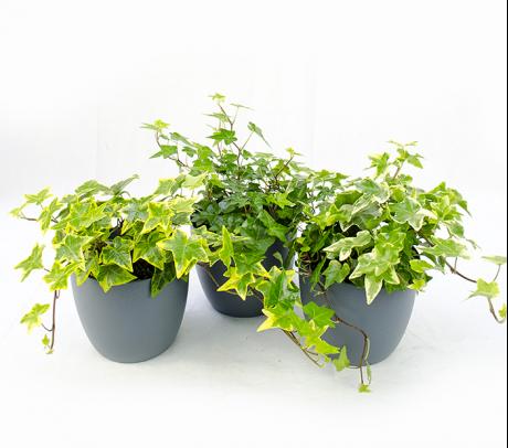 iedra de camera - plante benefice care purifica aerul