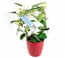 Iasomia de Madagascar, Stephanotis de vanzare