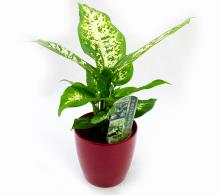 Dieffenbachia H 25 cm