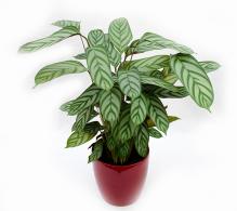 Planta păun