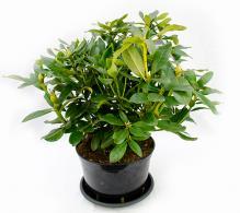 Rododendron de grădină