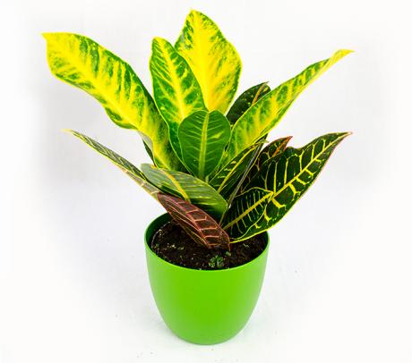 Croton H 35 cm