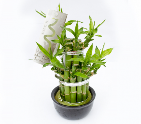 Bambus norocos
