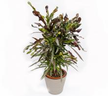 Croton H 80 cm