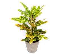 Croton H 75 cm