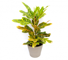 Croton H 45 cm