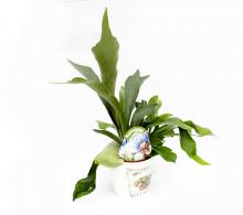 Platicerium | Planta coarne de cerb
