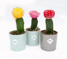 Gymnocalycium | cactus altoit