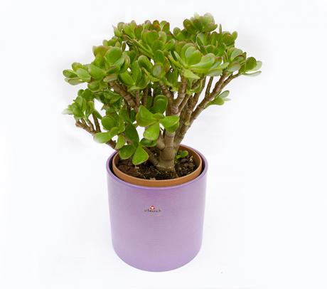 Crassula Planta banilor - Arborele de jad