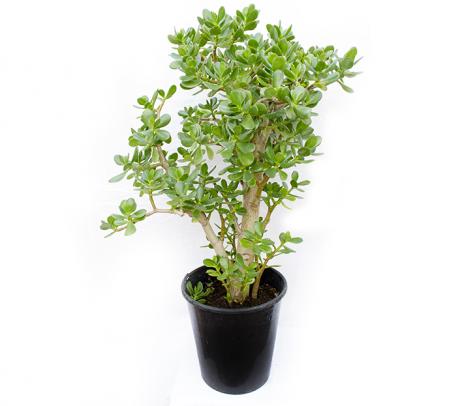 Planta banilor | Arborele de jad H 100  cm
