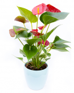 Flori de apartament Flamingo