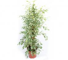Ficus benjamina variegat H 130 cm
