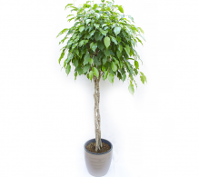 Ficus benjamina H 140 cm