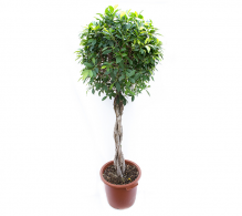 Ficus benjamina H 170 cm