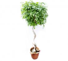 Ficus benjamina H 180 cm
