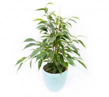 Ficus benjamina  H 40 cm