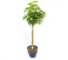 Arborele umbrelă cu tulpina împletită H 170 cm