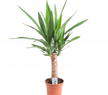 Yucca cu o tulpină