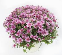 Crizantema