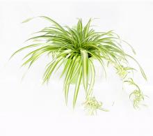 Flori ornamentale Planta purificatoare Paianjen