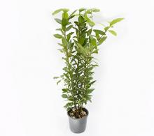 Dafin - plante aromatice si medicinale