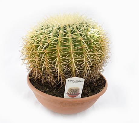 Cactus Perna soacrei