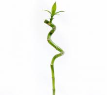 Bambus norocos spiralat
